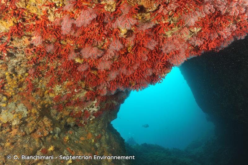 IV.3.3.b. - Faciès à <em>Corallium rubrum</em> - Biocénoses benthiques de Méditerranée