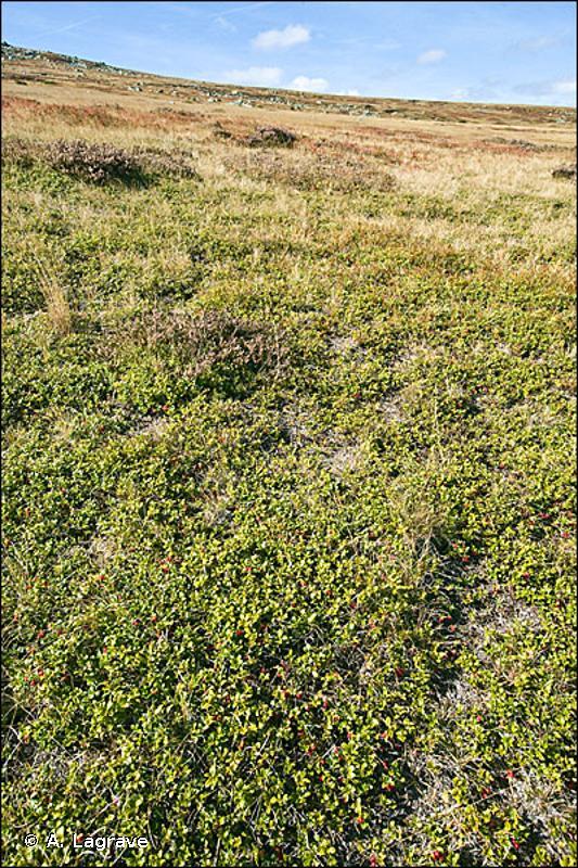 4030-11 - Landes acidiphiles montagnardes de l'Est - Cahiers d'habitats