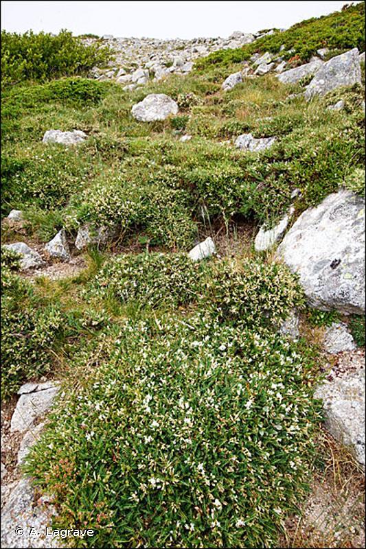31.751 - Landes épineuses à Astragalus gennargenteus - CORINE biotopes