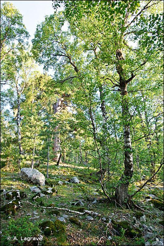 41.B - Bois de Bouleaux - CORINE biotopes