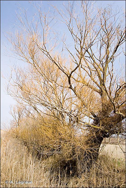 G1.11212 - Forêts galeries euméditerranéennes à Saule blanc et à Saule fragile - EUNIS