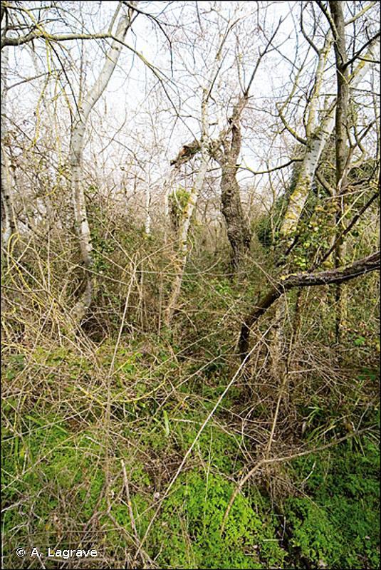 92A0 - Forêts galeries à <em>Salix alba</em> et <em>Populus alba</em> - Cahiers d'habitats