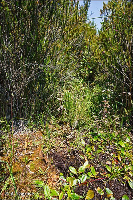 51.1 - Tourbières hautes à peu près naturelles - CORINE biotopes