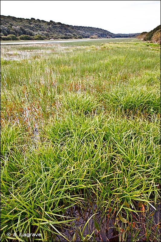 53.219 - Cariçaies à Carex vulpina - CORINE biotopes