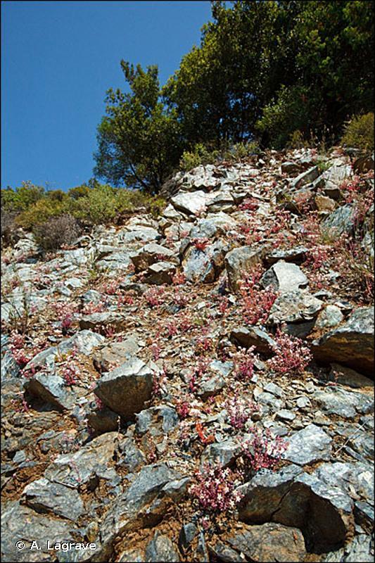 8220-20 - Falaises siliceuses thermophiles de Corse - Cahiers d'habitats