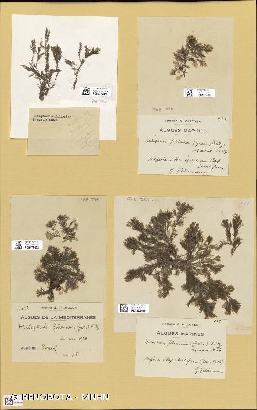 Halopteris filicina