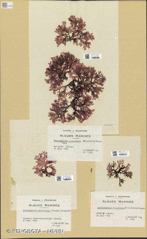 Rhodophyllis divaricata