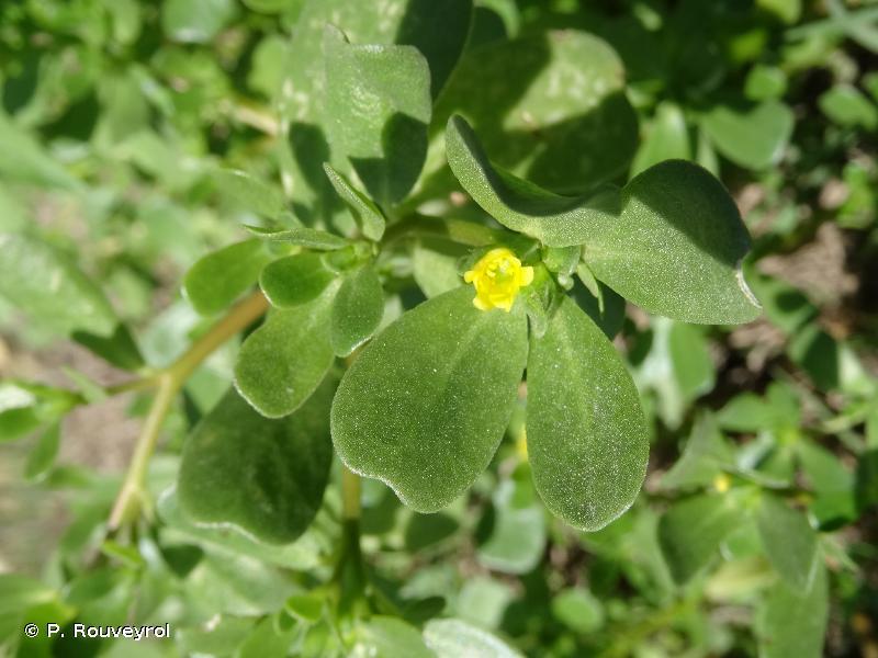 Portulaca trituberculata