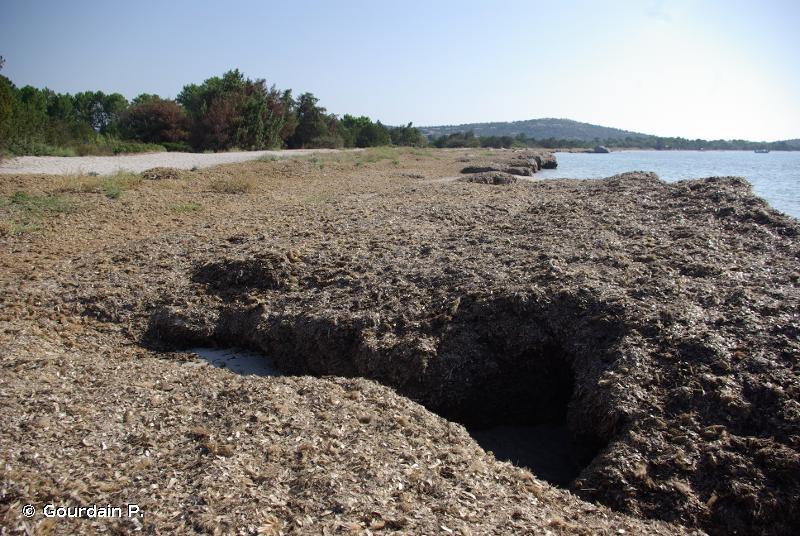 A2.131 - Faciès des banquettes de feuilles mortes de <em>Posidonia oceanica</em> et autres phanérogames - EUNIS