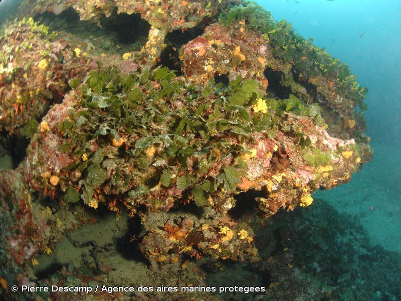 IV.3.1.d. - Association à <em>Flabellia petiolata</em> et <em>Peyssonnelia squamaria</em> - Biocénoses benthiques de Méditerranée