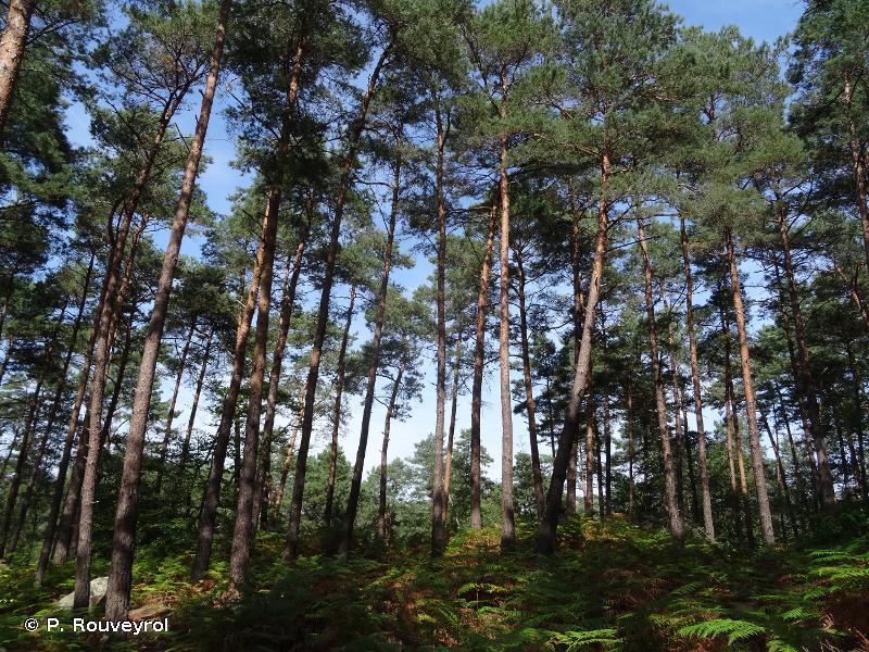 G3.4 - Pinèdes à <em>Pinus sylvestris</em> au sud de la taïga - EUNIS