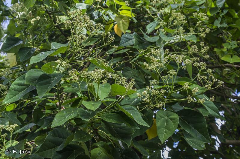 Hernandia nymphaeifolia
