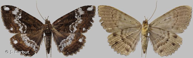 Ramphia albizona