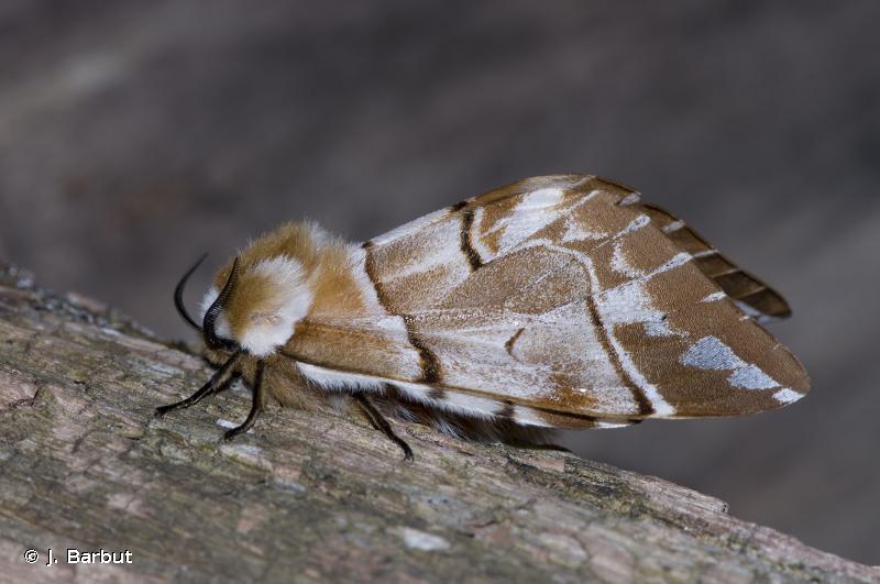 Endromis versicolora