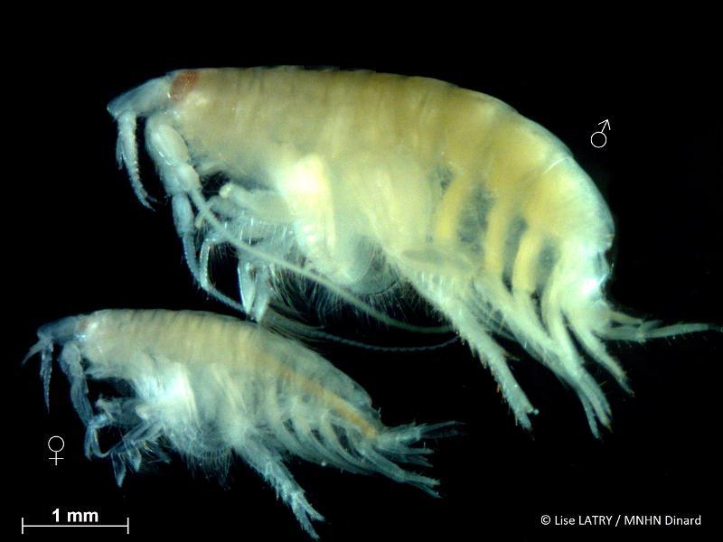 Bathyporeia guilliamsoniana