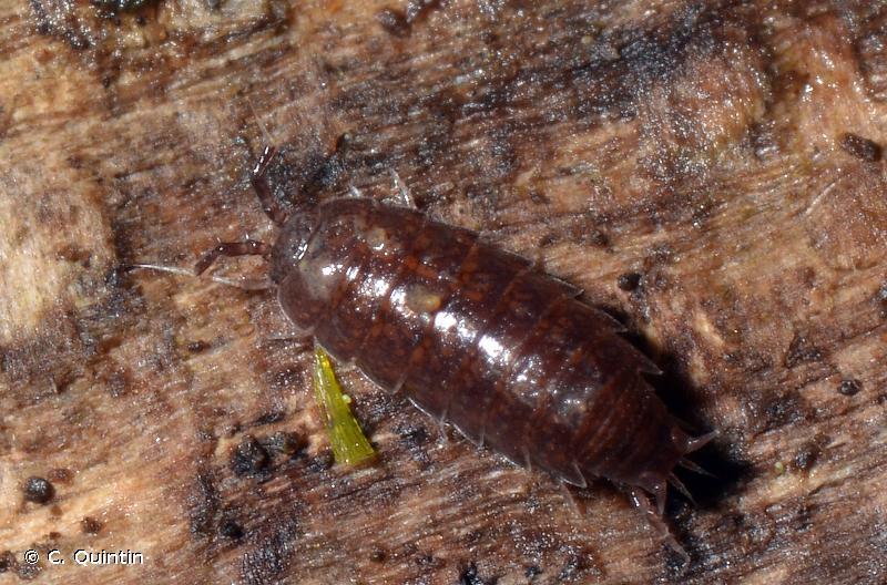 Trichoniscus pusillus