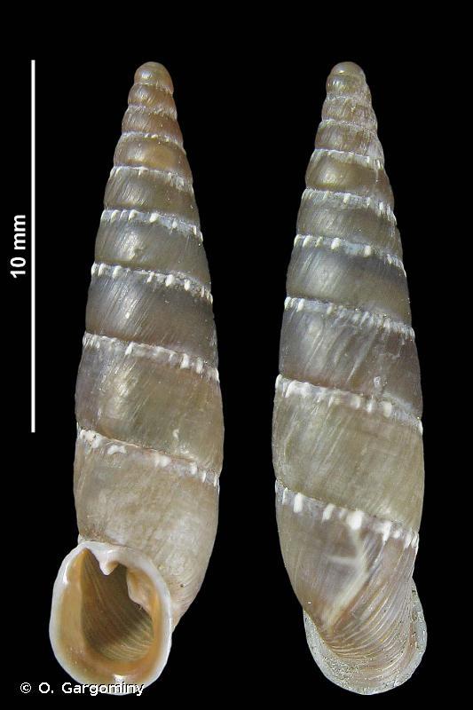 Leucostigma candidescens