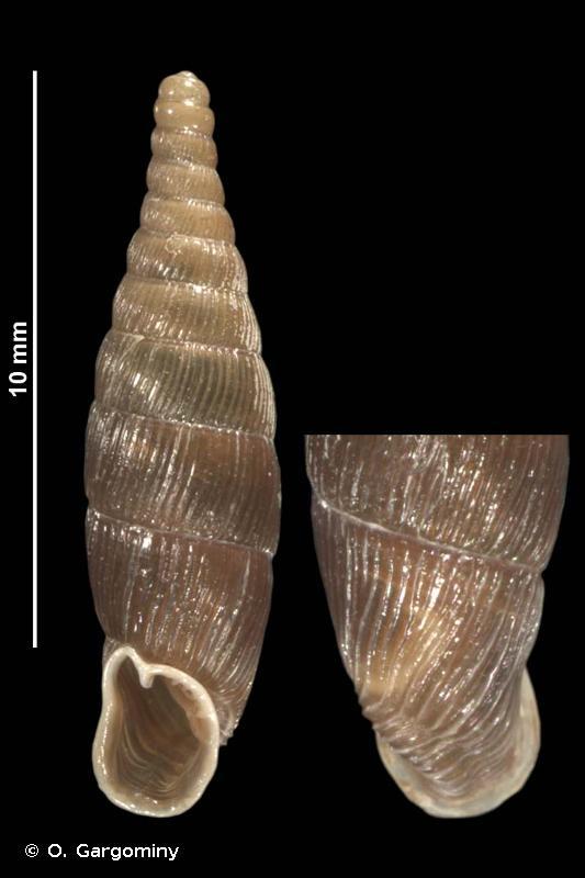 Macrogastra rolphii digonostoma