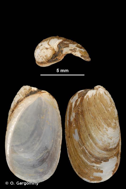 Testacella maugei