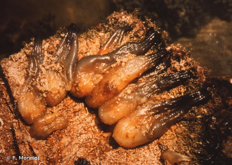 Phallusia fumigata