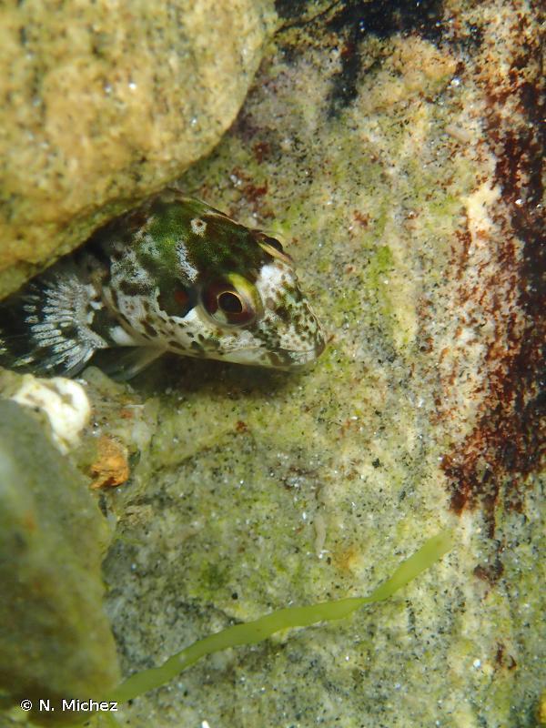 Lipophrys pholis