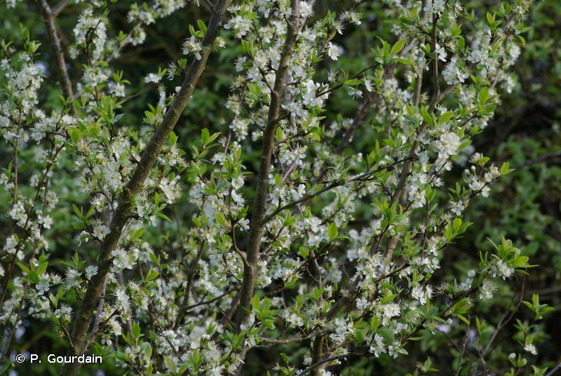Prunus x cerea
