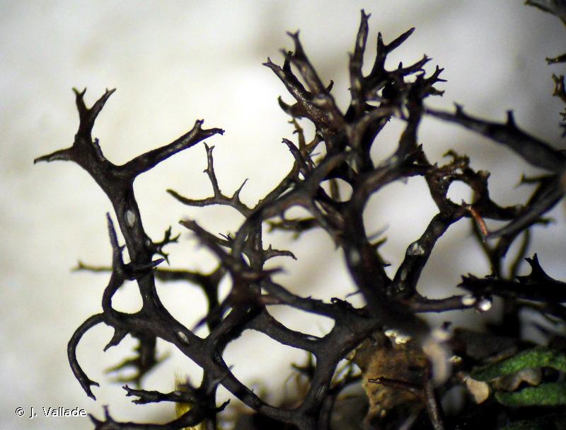 Cetraria aculeata