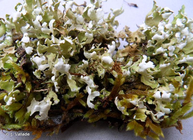Cladonia foliacea subsp. endiviifolia