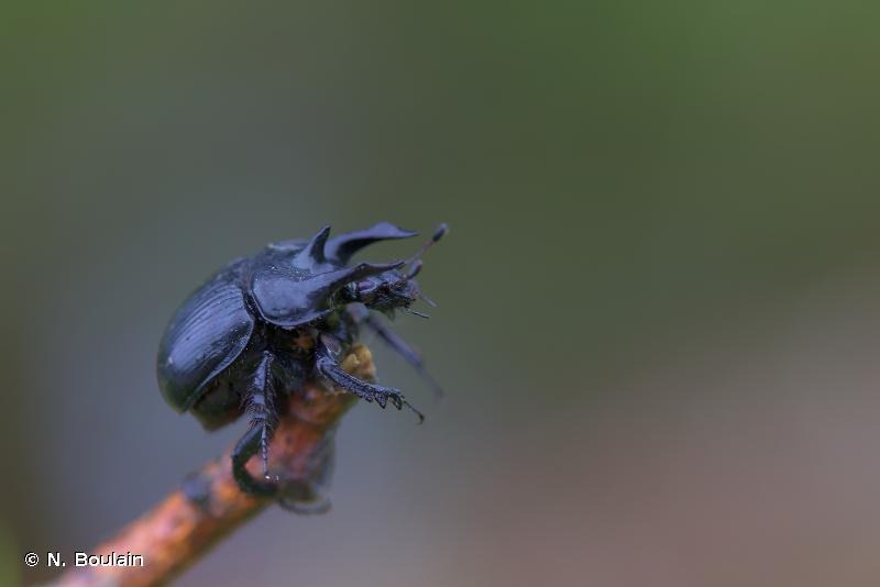 Typhaeus typhoeus
