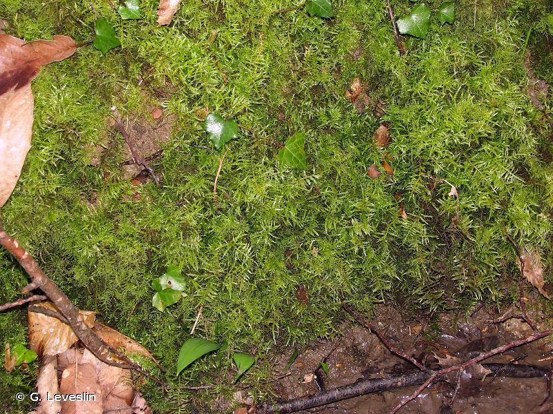 Cirriphyllum piliferum