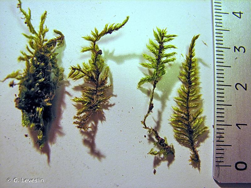 Hypnum jutlandicum