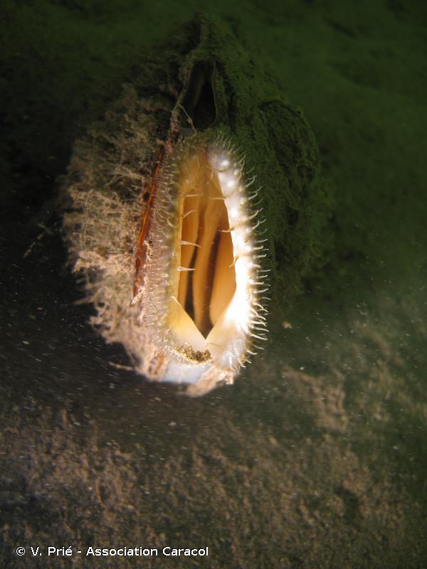 Sinanodonta woodiana