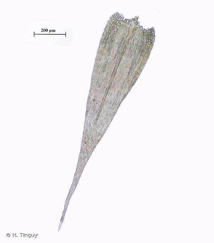 Brachythecium glareosum