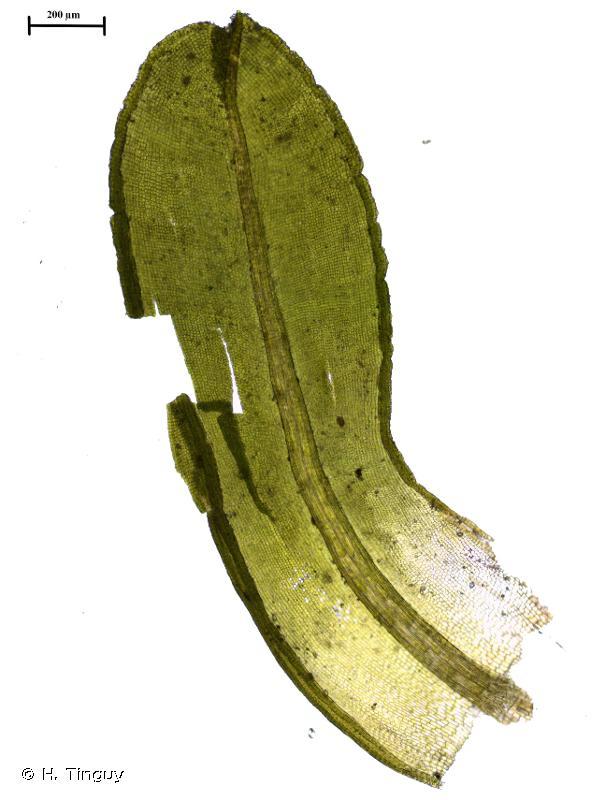 Dialytrichia saxicola