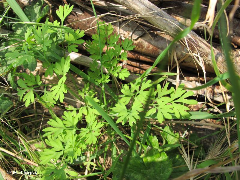 Fumaria muralis subsp. boraei