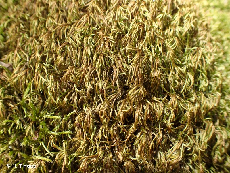 Nogopterium gracile