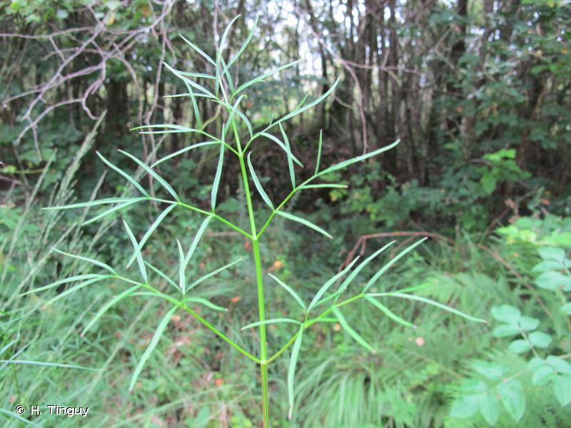 Thysselinum lancifolium