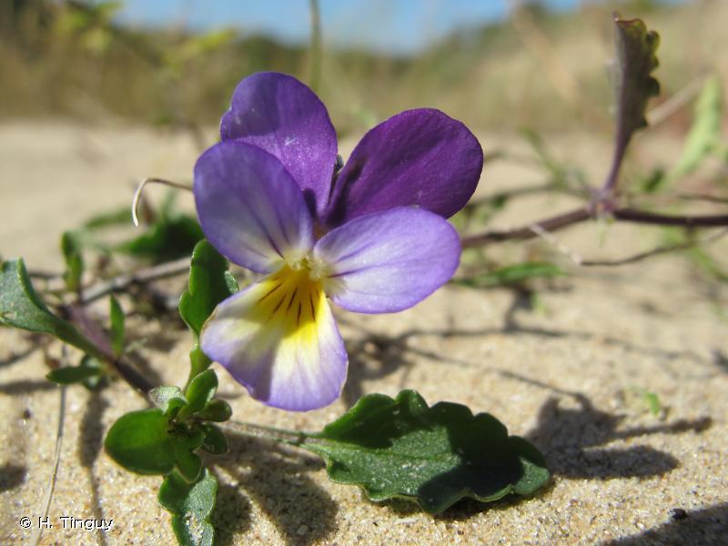 Viola tricolor subsp. curtisii