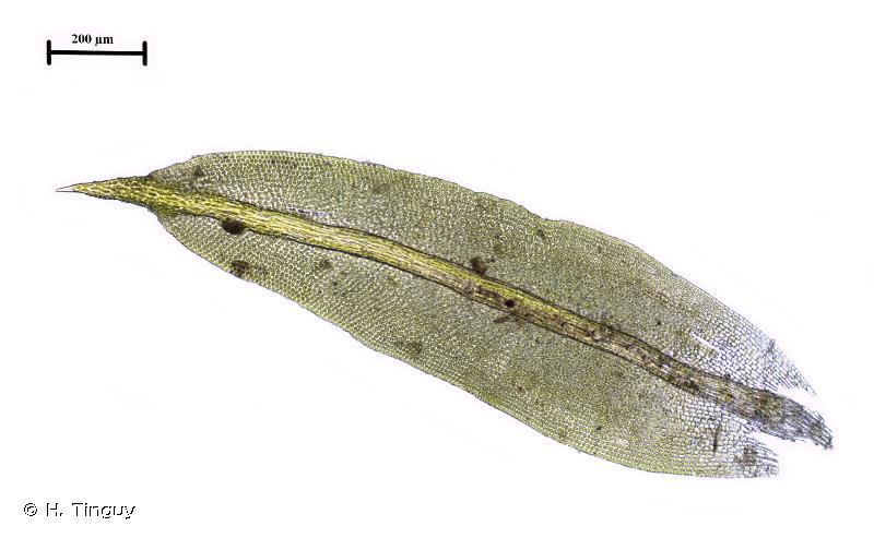 Zygodon stirtonii