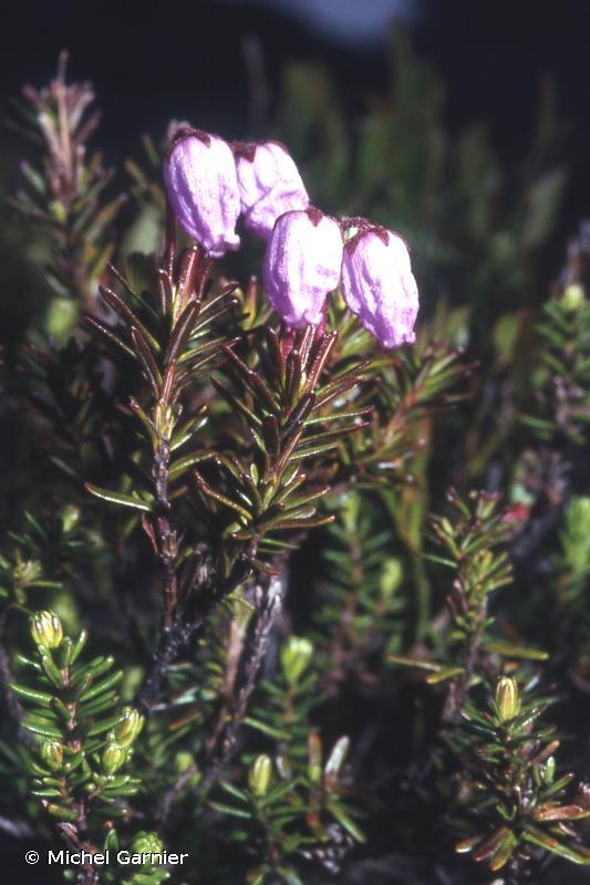 Phyllodoce caerulea