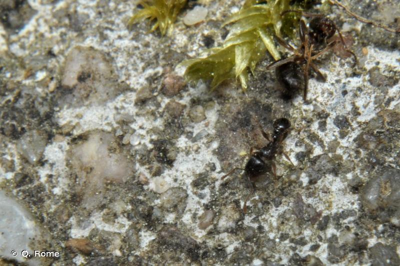 Tetramorium caespitum