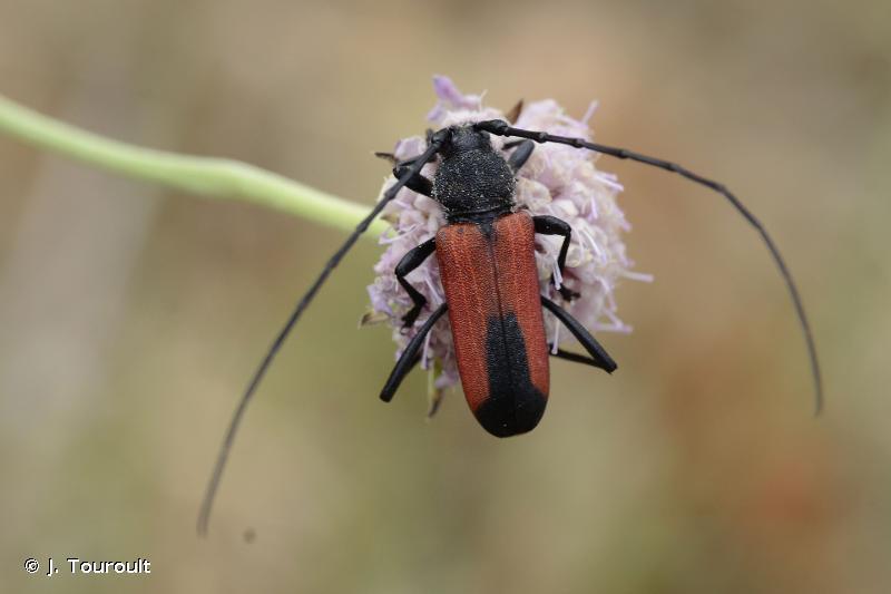 Purpuricenus budensis