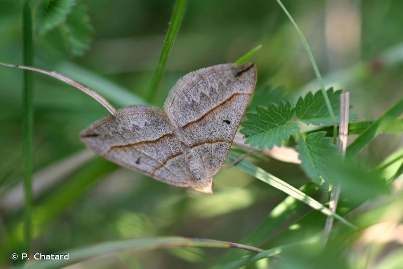 Scotopteryx mucronata