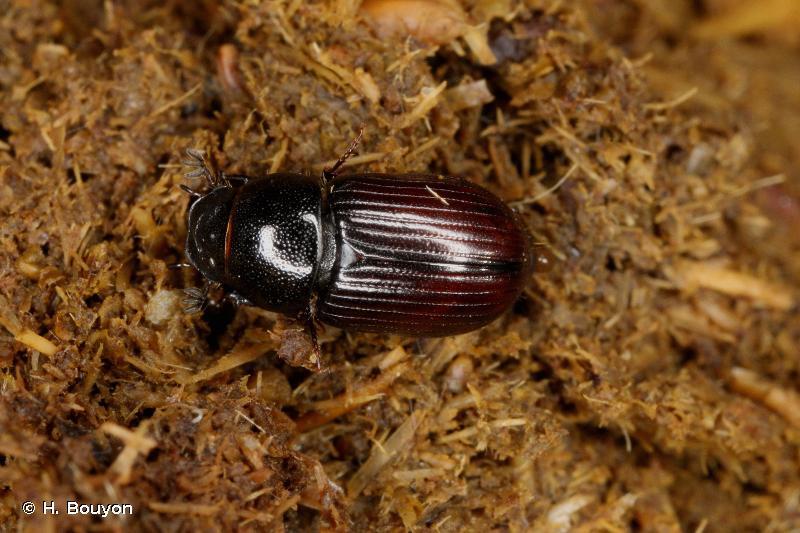 Euorodalus paracoenosus