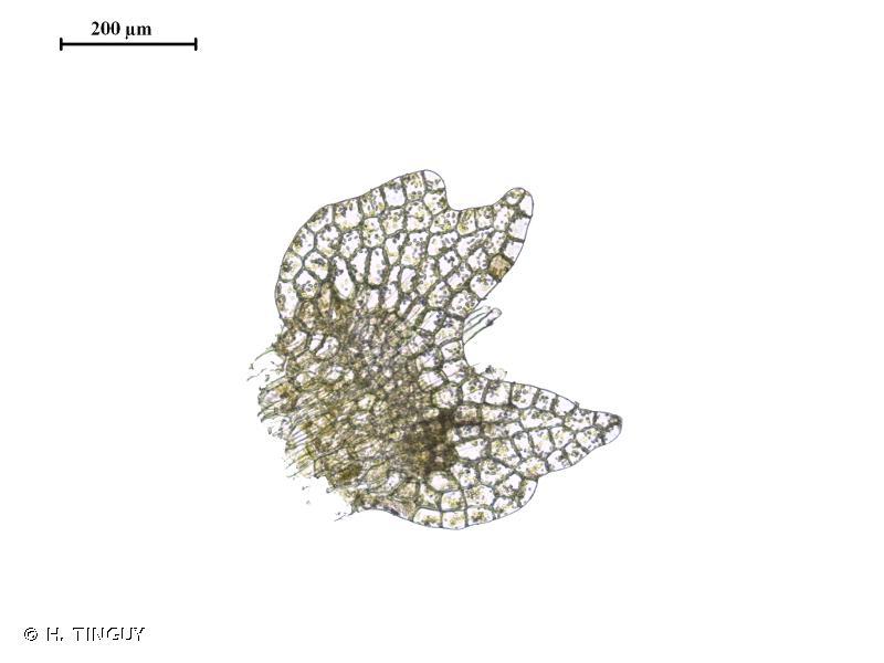 Calypogeia fissa