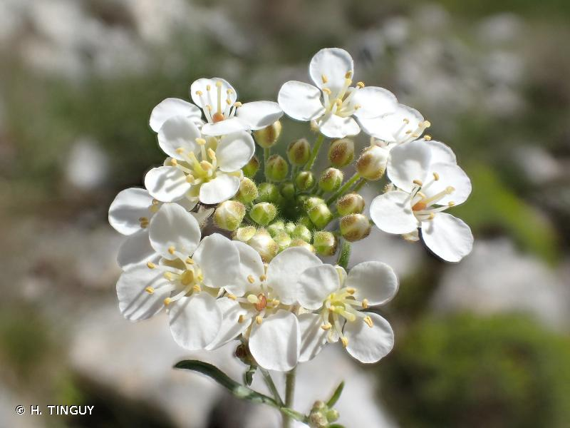 Hormathophylla ligustica