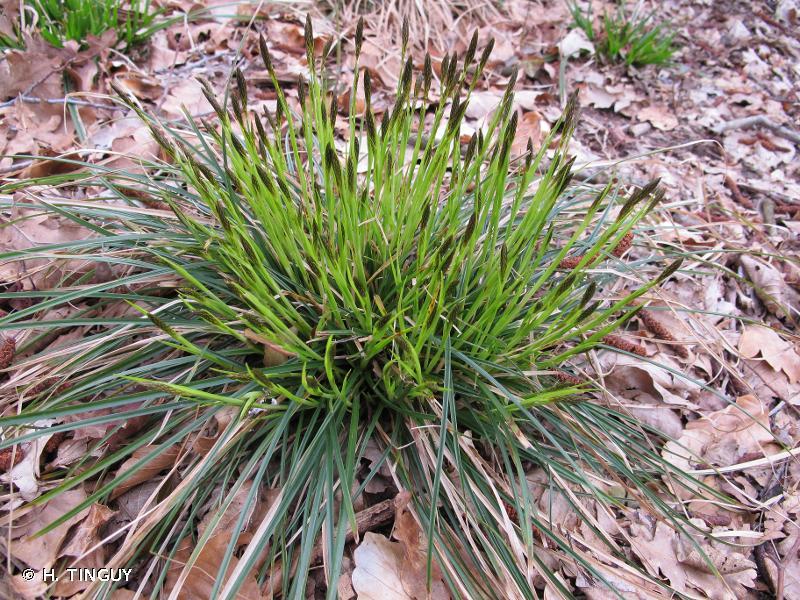 Carex umbrosa