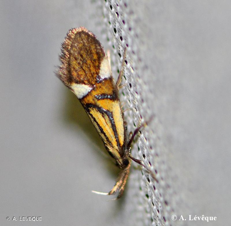 Alabonia geoffrella