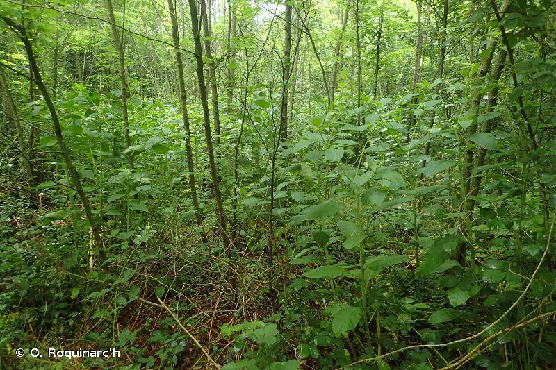 83.324 - Plantations de Robiniers - CORINE biotopes