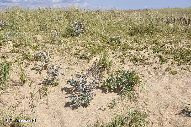 2110-1 - Dunes mobiles embryonnaires atlantiques - Cahiers d'habitats